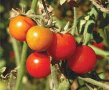 GARDENING: PROTECTING TOMATOES FROM VIRUS