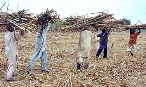 Mills refuse to buy 12 cane varieties