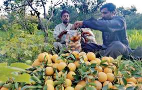Climate change takes a toll on Khanpur's famous citrus orchards