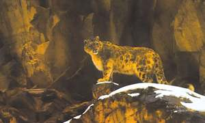 Documentary highlights need to protect snow leopard