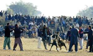 Dog fighting becomes costly hobby in Potohar