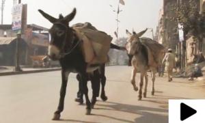 پاکستان اب چین کے ساتھ گدھوں کی تجارت کرے گا