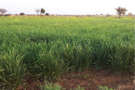 Chakwal farmers expecting bumper wheat crop due to timely rainfall