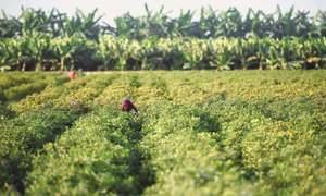 For some crops, rain spells provide relief