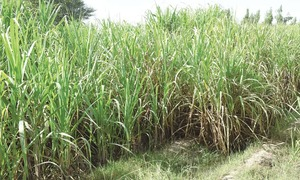Only option is to limit cane cultivation