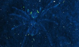 کروڑوں سال پہلے مرجانے والی مکڑیوں کی 'زندہ آنکھیں'