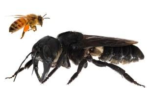 دنیا کی سب سے بڑی مکھی 38 سال بعد دوبارہ دریافت