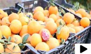 خانپور میں خوش ذائقہ مالٹوں کے باغات
