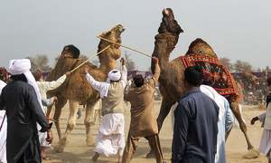 Culture or cruelty? Camel fighting persists in Pakistan despite ban