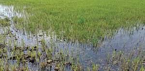 Rainwater inundates swathes of wheat field