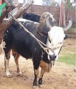 Chakwal's prized bull falls victim to 'jealousy'