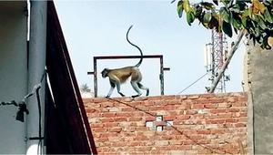 Indian langurs seen in two Kasur villages