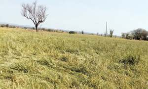 Hailstorm destroys wheat crop in parts of Talagang