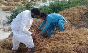 Rain causes widespread crop damage in southern Punjab