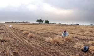 Bad weather panics wheat growers