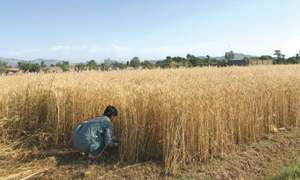 Farmers resume cultivation in militancy-hit Bara