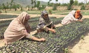 KP tree 'tsunami' nursery workers remain unpaid for six months