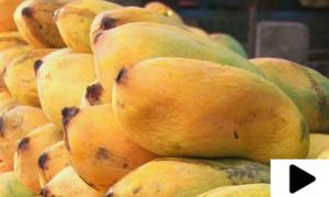 لاہور کی مارکیٹوں میں پھلوں کے بادشاہ کی انٹری