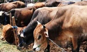 بھارت: 7 گائے کا ریپ، ایک شخص رنگے ہاتھوں گرفتار