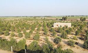 جنوبی پنجاب کے صحرائی علاقے میں ڈرپ اریگیشن کے ذریعے کاشت کاری