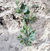 Cultivation of pistachio in Upper Chitral produces good results
