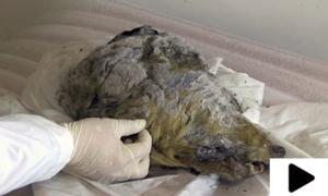 برفانی دور کے بھیڑیے کا 40 ہزار سال پرانا سر دریافت