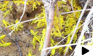 سندھ میں ٹڈی دل کا حملہ، سیکڑوں ایکڑ پر کھڑی کپاس کی فصل تباہ