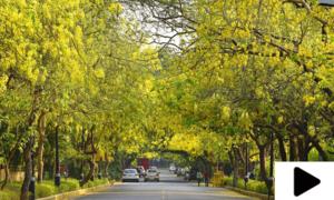 شہر اقتدار میں امل تاس کے پیلے درخت شاہراہوں کا حسن