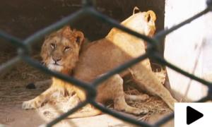شیروں کو تکلیف دیئے بغیر موت کی نیند سلا دیا گیا
