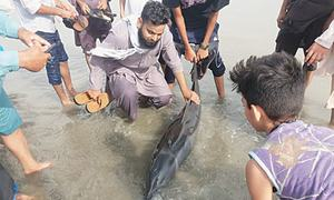 Efforts on to save dolphin stranded in Clifton's shallow waters in Karachi