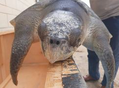 Wildlife dept takes custody of 'ailing' turtle