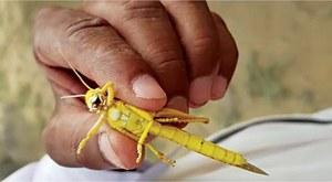 'Locusts enter Cholistan desert from Rajasthan'