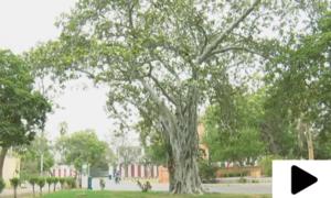 وہ قدیم ترین درخت جس سے کئی بیماریوں کا علاج ممکن ہے