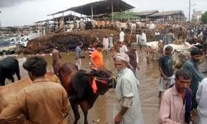کراچی: مویشی منڈی میں پانی بھر جانے سے جانوروں کو نقصان پہنچنے کا خدشہ
