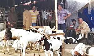 Sacrificial cattle market becomes a theatre of haggling
