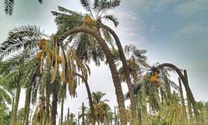Historical date palm orchard faces neglect despite disease attack