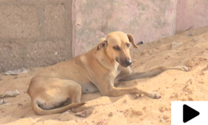 آوارہ کتوں کے خاتمے کے لیے سندھ بھر میں مہم شروع کرنے کا اعلان