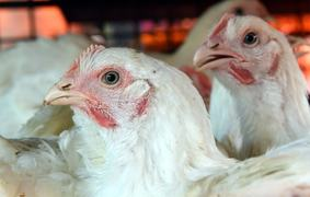 Poultry prices hit all-time high