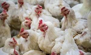 مرغی کی قیمت بلند ترین سطح تک پہنچ گئی