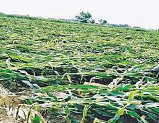 Rainstorm, fake pesticides damage crops