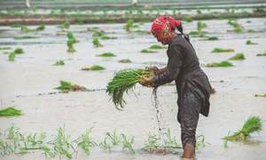 Paddy growers brace for productivity losses