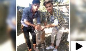 گلگت میں نوجوانوں نے مارخور کا بچہ کتوں سے بچا لیا