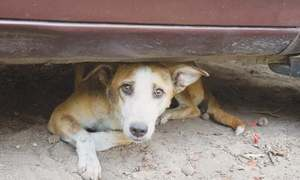 DMCs express helplessness in capturing stray dogs in city