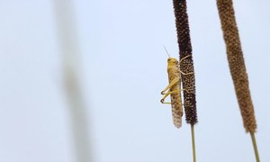 Locust horde threatens Pakistan's prized cotton farms