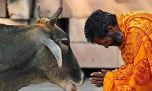 'بھارتی گائے کے دودھ میں سونا موجود ہوتا ہے'