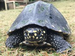 IWMB rescues endangered black spotted turtle