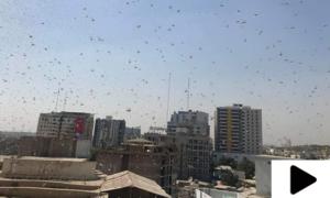 کراچی میں دوسرے روز بھی ٹڈی دل کا حملہ