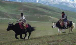 Yak a source of livelihood for many Chitralis