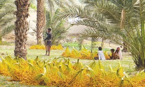 Dates can help alleviate hunger: FAO