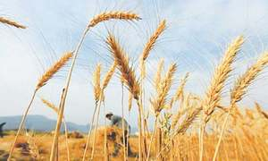 Climate change causes lower food grain, fruit yields in KP